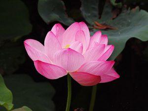 Spa Story Lotus